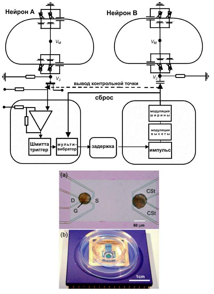 Схема работы двух нейронов